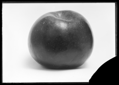 Mammoth black twig Arkansas apple at W.A. Sandefur in Robards, Kentucky. 11/11/1910