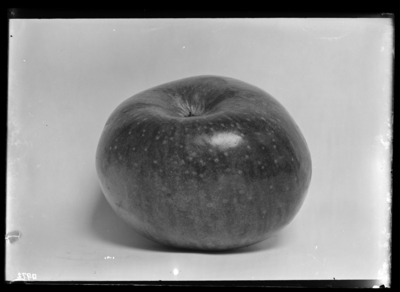 York Imperial Apple at Tip Top, Kentucky. 9/5/1906