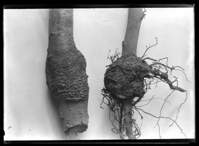 2 galls in YY apple tree in Jessamine County. Apr-01
