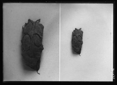 Ecdytolopha insiticiana cases made for puparium. 9/1/1915