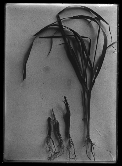 Fall army worm-injured rye plants at Clark's place on Tates Creek Pike in Lexington, Kentucky. 9/28/1921