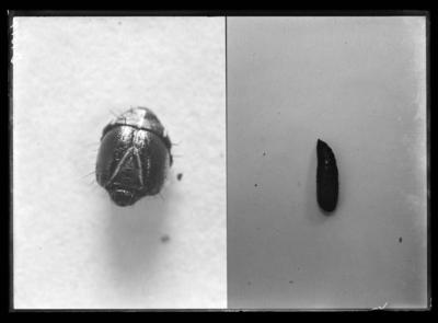 Fall army worm pupa in Berea, Kentucky. 10/2/1912