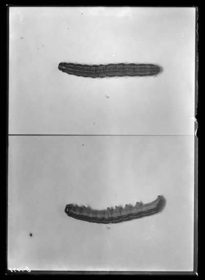 Fall army worm larva, dorsal and side views in Berea, Kentucky. 9/27/1912