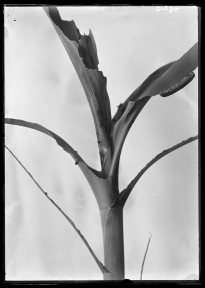 Army worm on corn, natural size. 6/9/1914