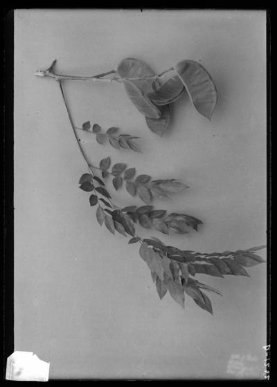Kentucky coffee tree leaf & fruit