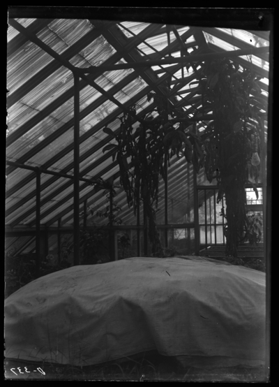 Puerto Rican tobacco growing thru the roof of viv. 10/19/1904