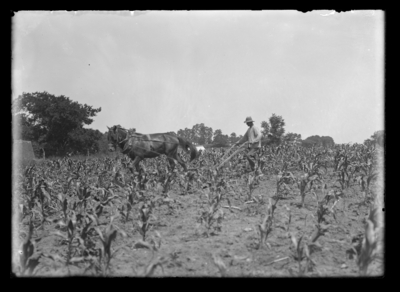Plowing corn with one-horse plow 7/4/1918