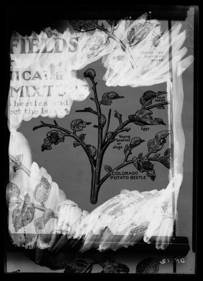 Colorado potato beetle. 1/17/1936
