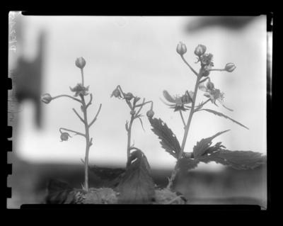 Strawberry weevil injury to blackberry at Sharpe, Kentucky. 1948