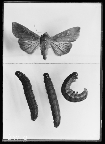 Army worms, larvae and adult. 5/16/1907