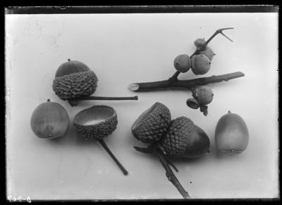 Acorns of quercus in Central City, Kentucky. 1899