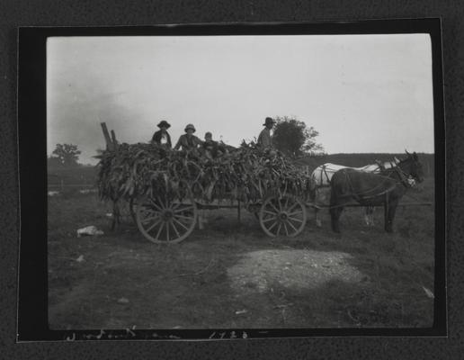 Men atop of load of tobacco in a wagon pulled by mules