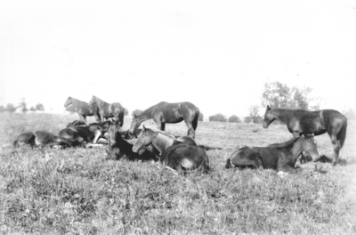 Posed group photo of horses; several horses in a pasture, standing and lying down. Silver Print