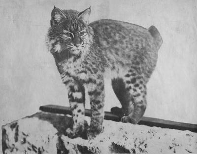 The original, live wildcat mascot of the University of Kentucky,