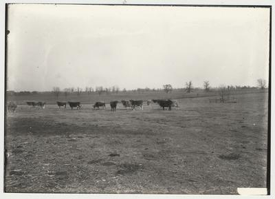 World War I, with cattle on the training field