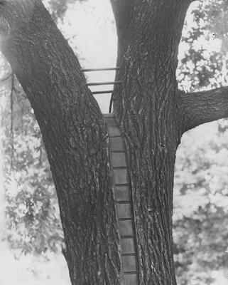 A surgically restored tree on the University of Kentucky campus; Received 1959, June 13 from the Cincinnati Enquirer