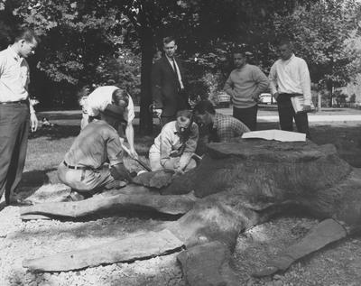 Staff members and workmen using epoxy resin glue to attach lateral roots of an ancient stone tree stump exhibited near the Classroom Building on the University of Kentucky campus