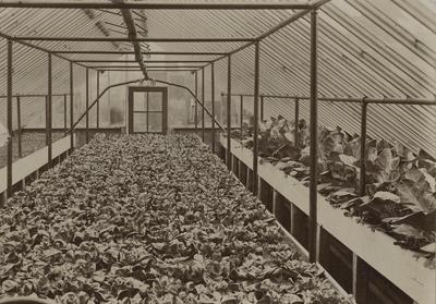 Experimental crop of lettuce - Forcing House