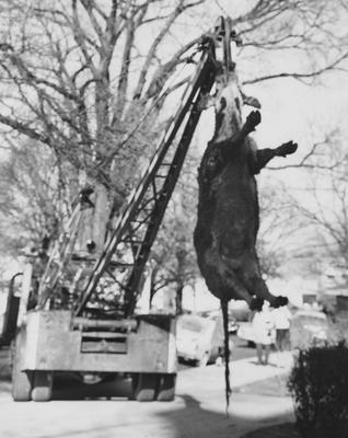 Dead cow being hoisted by a crane