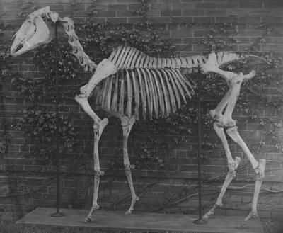A photo of a skeleton of a horse; This photo was given to Professor Gillis as a first offering for his material on the history of the University of Kentucky Zoological Museum; This photo was from Professor W. R. Allen, Department of Zoology at the University of Kentucky