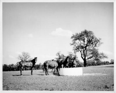 Horses at watering trough