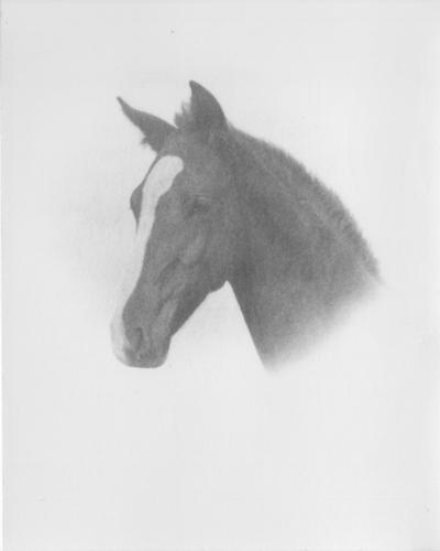 Horse's head (portrait)
