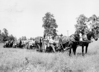 A line of horse-drawn stripping machines in a field: