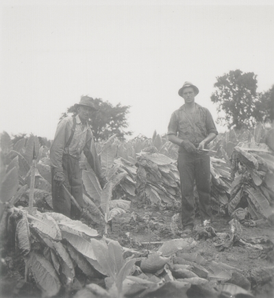 Cutting the tobacco crop; Boot Hill Farm