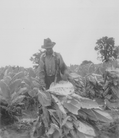 Cutting tobacco crop, Boot Hill Farm