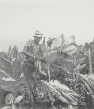 Cutting the tobacco crop; Boot Hill Farm