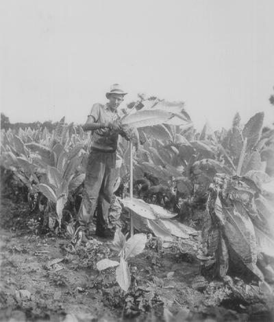 Cutting tobacco crop, Boot Hill Farm