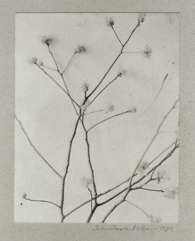 Flowering branch; John Jacob Niles (signed and dated)