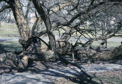 Osame Orange Tree at Fort Harrod