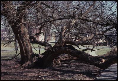 Osage Orange Tree At Fort Harrod