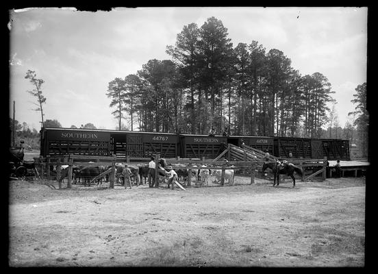 Loading cattle in Southern Railway cars