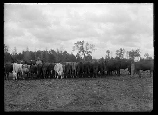 Two men feeding cattle, team of horses to right