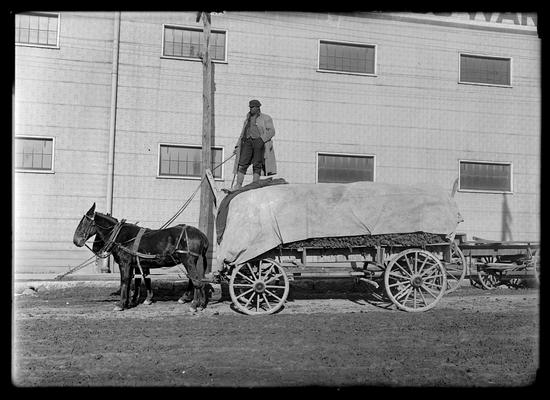Tobacco as it is brought from the farm, two-horse wagon, driver, tobacco is covered