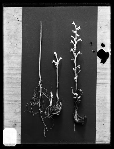 Broom rake from seed planted 1889