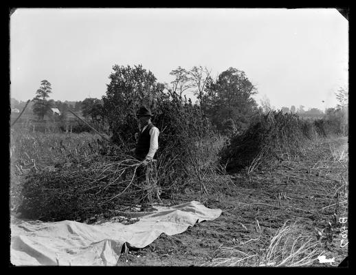 Hemp, unidentified man beating out seed, Experiment Farm