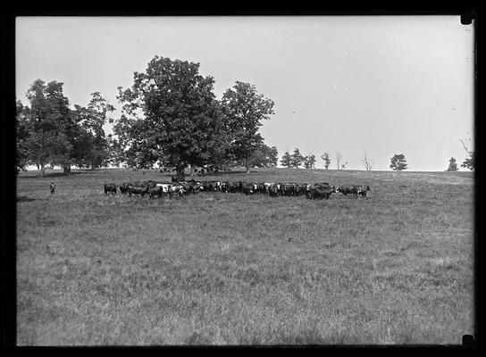 Fat cattle, Weil's farm, Jonas Weil