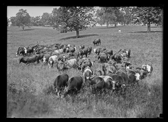 Fat cattle, close up, Weil's farm
