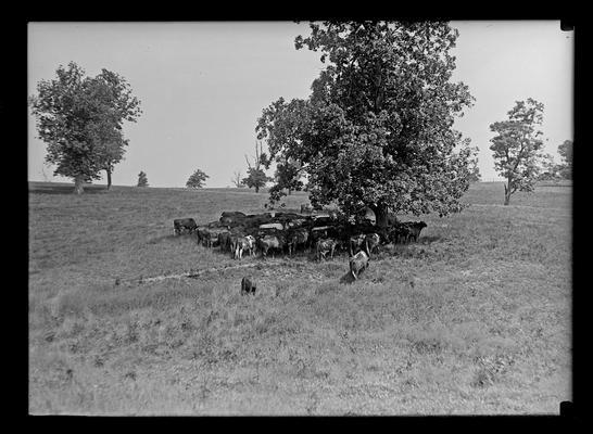 Cattle around tree