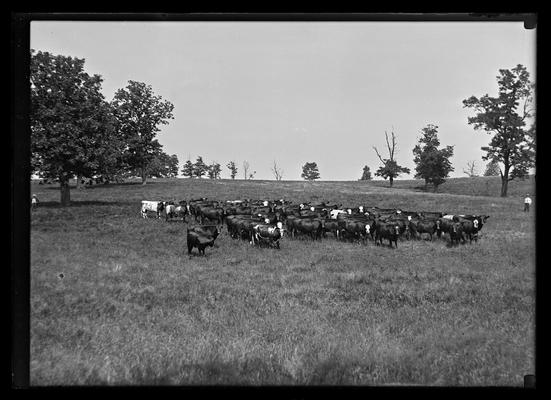 Cattle facing camera, man on each side of picture