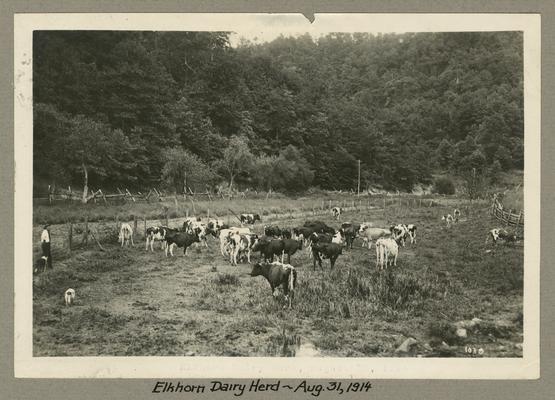 Title handwritten on photograph mounting: Elkhorn Dairy Herd