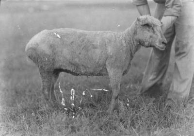 Man holding sheep
