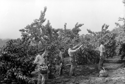Ellis brothers, men picking fruit from orchard