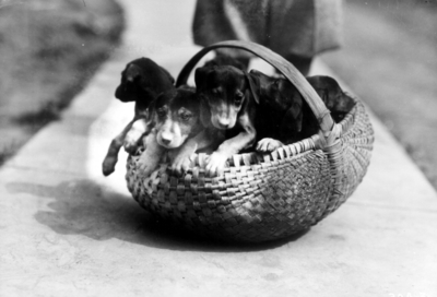 Litter of pups in a basket