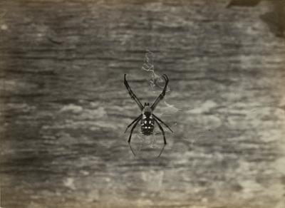 Garden Spider at Spring Street Place